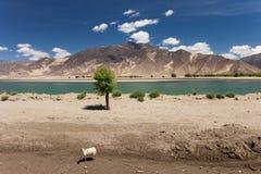 tibet samotny rzeczny barani drzewo Obraz Stock