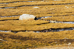 Tibet scenery of China Royalty Free Stock Photo