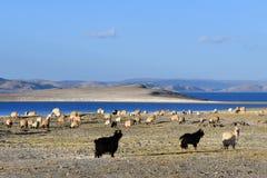 Tibet, sheep and goats grazing on the banks of the sacred lake Nam-TSO Nam Tso, 4718 meters above sea level stock photo