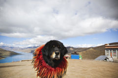Tibet: tibetan mastiff Royalty Free Stock Photos