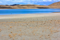 Tibet Yamdrok lake a flock of birds. Yamdrok lake(Yangzhuoyongcuo) 2016 in Tibet, When we pass, started up a flock of birds Stock Image