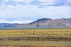 Tibet Yamdrok lake sheep Stock Image