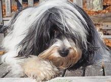 Tibetaans Terrier die Natuurlijke Buitenkant ontspannen Royalty-vrije Stock Afbeelding