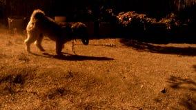 Tibetaans Terrier - Hond die na Toy Ii lopen stock video