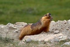 Tibetaanse berg heldere rode marmot, die zich na slaap, Ladakh, India uitrekken Stock Foto