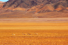 Tibetan antelope Royalty Free Stock Photography