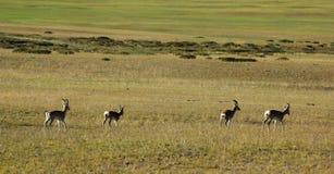 Tibetan antelopes Stock Image