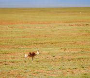 Tibetan antelopes Royalty Free Stock Photo
