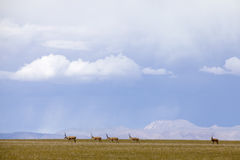 Tibetan antelopes stock photo