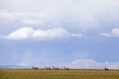 Tibetan antelopes Stock Photo