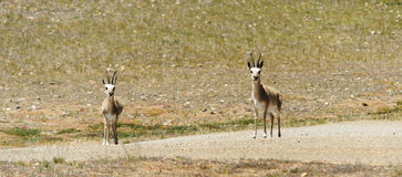 Tibetan antelopes male Royalty Free Stock Image