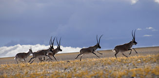 Tibetan antilope stock afbeeldingen