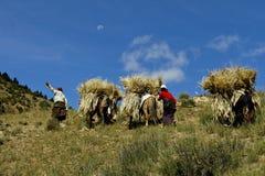 Tibetan barley farming  Stock Image