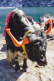 Tibetan black color head and body fur yak with saddle for ride stand on the concrete road in winter in Tashi Delek near Gangtok. Stock Images