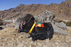 Tibetan black color head and body fur yak with saddle for ride stand on yellow clay in winter in Tashi Delek near Gangtok. Royalty Free Stock Photo