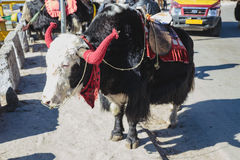 Tibetan black fur yak with saddle for ride stand on the concrete road in winter in Tashi Delek near Gangtok. North Sikkim, India. Royalty Free Stock Images