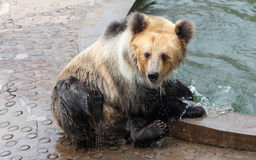 Tibetan blue bear or Horse bear Stock Images