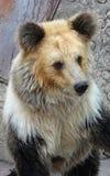 Tibetan blue bear or Horse bear Royalty Free Stock Image