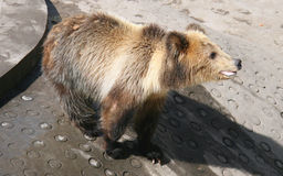 Tibetan blue bear or Horse bear Royalty Free Stock Photography