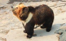 Tibetan blue bear or Horse bear Royalty Free Stock Photo