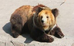 Tibetan blue bear or Horse bear Stock Photo