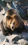Tibetan blue bear or Horse bear Royalty Free Stock Photos
