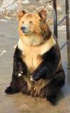 Tibetan blue bear or Horse bear sitting on the ground Royalty Free Stock Image