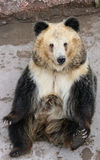 Tibetan blue bear or Horse bear sitting on the ground Stock Photo