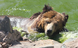 Tibetan blue bear or Horse bear swims in the water Stock Images