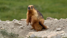 Tibetan bright red marmot, standing on hind legs on the ground on grass background, Ladakh, India. Tibetan mountain bright red marmot, standing on hind legs on Royalty Free Stock Images