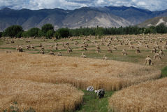 Tibetan  countryside. Farmland in Lhoka,  Lhoka was the  birthplace of Tibetan  civilization Stock Photo