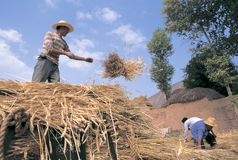 Tibetan farmers. Farmers  are harvesting highland barley in Qinghai Province,east Tibet's Royalty Free Stock Photography