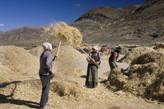 Tibetan farmers Harvesting - Tibet Stock Images