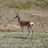 Tibetan gazelle Royalty Free Stock Photo