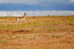 Tibetan gazelles Stock Photos