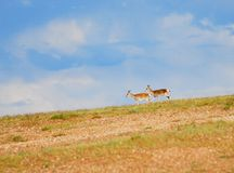 Tibetan gazelles Stock Photography