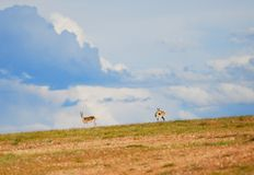 Tibetan gazelles Royalty Free Stock Images