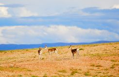 Tibetan gazelles Stock Photo