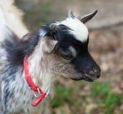 Tibetan goat head Stock Image
