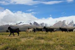 Tibetan goat Royalty Free Stock Image