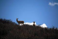 Tibetan horse deer Stock Image