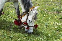 Tibetan horse. The head of white Tibetan horse Stock Photos