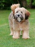 tibetan hundterrier Royaltyfria Bilder