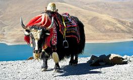 Tibetan jakken Stock Foto's