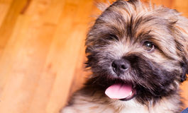 Tibetan Lhasa Apso Small Canine Dog Breed Furry Animal Creature. The Lhasa Apso is a non-sporting dog breed originating in Tibet. It was bred as an interior Stock Photo