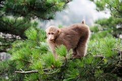 Tibetan Macaca monkey Royalty Free Stock Photos