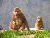 Tibetan macaques (Macaca thibetana) in Emei Mountains, Sichuan. Province, China Stock Photos