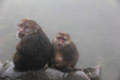 Tibetan Macaques in Mount Emei. Two Tibetan Macaques (Macaca thibetana) in Mount Emei Stock Image