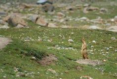 Tibetan marmot on a rock Stock Images