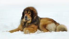 Tibetan mastiff. Lying on the snow royalty free stock images